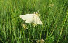Beautiful White Moth