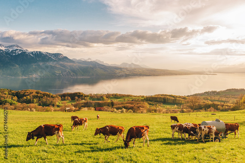 Many young cows graze on alpine pasture with amazing view of swiss lake Geneva on background