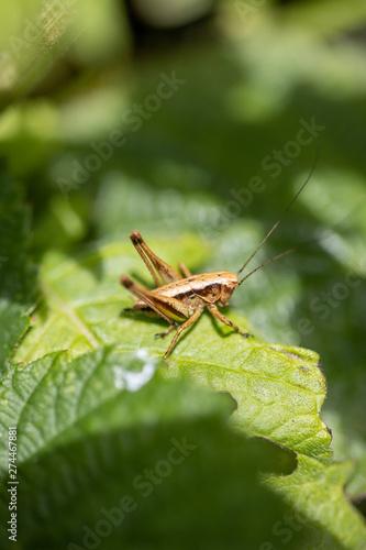 grasshopper on leaf Wallpaper Mural