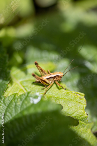 Tablou Canvas grasshopper on leaf