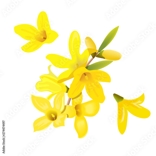 Forsythia suspensa flowers branch and flowers Fototapet