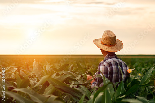 Rear view of senior farmer standing in corn field examining crop at sunset Canvas Print