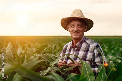 Fotomural Portrait of senior farmer standing in corn field examining crop at sunset