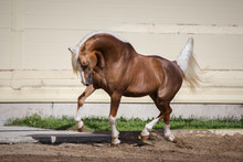 Beautiful Chestnut Horse Running In Paddock On The Sand Background