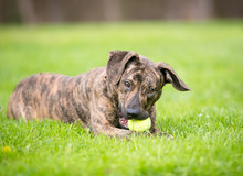 A Playful Brindle Mixed Breed ...
