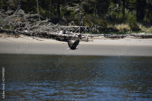 Bald Eagle taking off from dead tree at low tide