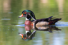 Colorful Male Wood Duck Closeu...