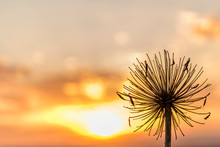 Agapanthus Flower Silhouette At Sunset.