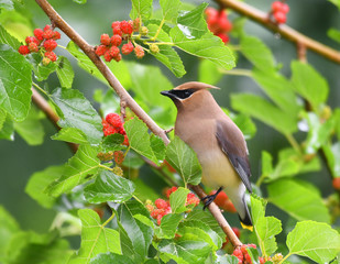 Fototapeta Ptaki cedar waxing bird eating mulberry fruit on the tree