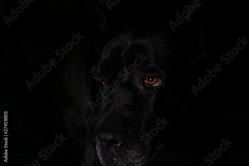 Photo Stands Panther Black dog cane corso breed on black background