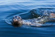 Seal In Baltic Sea