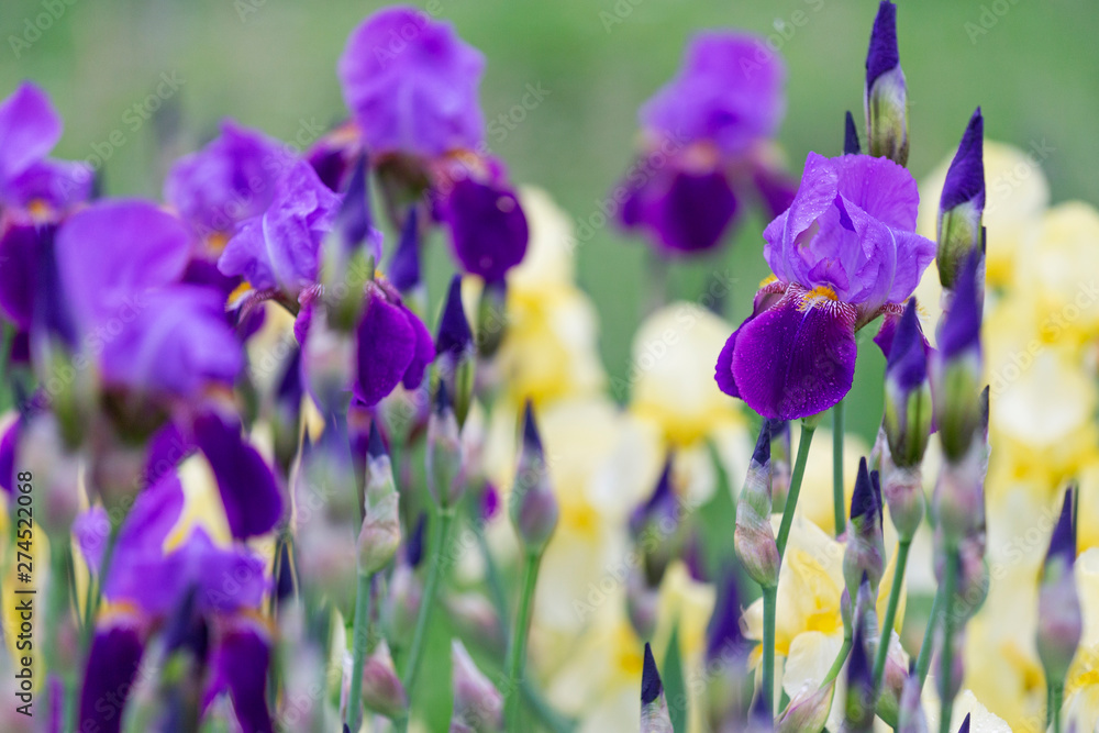 Fototapety, obrazy: purple irises in spring after rain