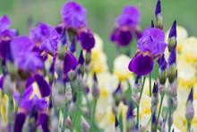 Purple Irises In Spring After Rain