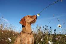 Wirehaired Vizsla Dog Sniffing...