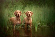 Two Beautiful Vizsla Dog Standing In Water