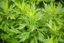 ヨモギ(日本でよもぎ餅に使われる植物):別名モグサ