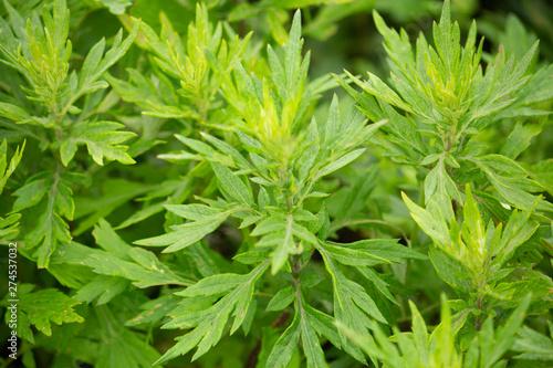 Photo ヨモギ(日本でよもぎ餅に使われる植物):別名モグサ