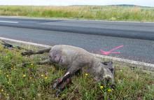 Wildunfall, Totes Wildschwein ...