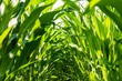 inside of corn field. corn seedlings. maize corn leafs.