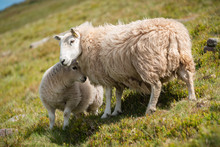 Sheep In The Brecon Beacons