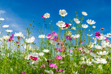 Landscape Nature Of Beautiful Cosmos Flowers Field Under Bluy Sky Background