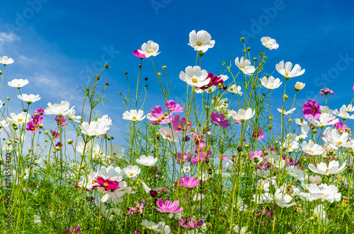 Recess Fitting Meadow Landscape nature of beautiful cosmos flowers field under bluy sky background