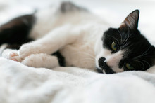 Sweet Black And White Cat With Moustache Resting On Bed, Sleeping In Morning. Comfortable And Cozy Moment. Funny Sleepy Cat. Cute Kitty Adorable Sleeping On White Bed. Space For Text