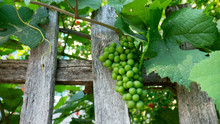 Bunch Of Green Unripe Grapes In Grape Leaves. Old Wooden Fence.
