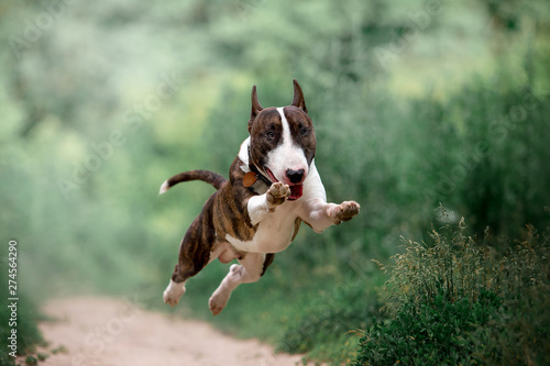 Beautiful dog breed bull terrier on nature Canvas Print