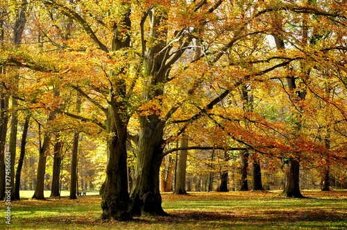 Old broad leaf (probably beech) trees in the park at autumn afternoon daylight Canvas Print