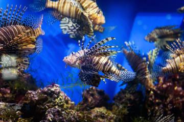 Aquarium with beautiful lionfish. Tropical exotic fishes swim in marine life aquarium. Underwater sea world close-up.