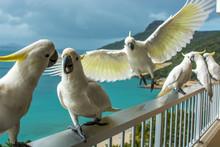 Hamilton Island Cockatoos