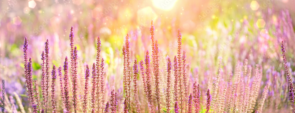 Fototapety, obrazy: purple flowers of decorative sage field in sunlight. Beautiful Bumbleberry Salvia, Woodland Sage (Salvia Nemorosa) in flower garden. Gentle flower in summer. artistic image of summer season. banner
