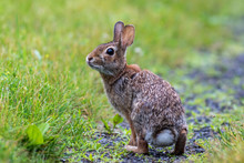 Young Eastern Cottontail (Sylvilagus Floridanus) Rabbit On The Grassy Trail Covered In Morning Dew