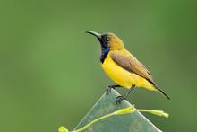 Olive-backed Sunbird - Cinnyri...