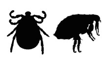 Vector Silhouette Of Flea And Tick On A White Background. Symbol Of Parasites.