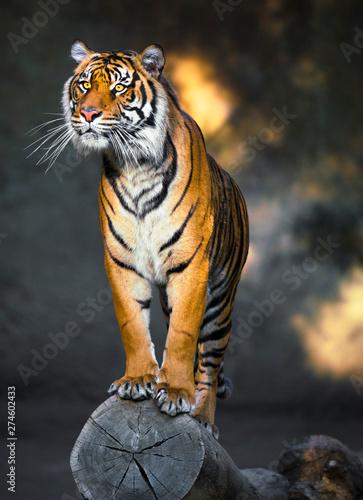 Naklejki tygrys   epickie-uchwycenie-posagowego-dzikiego-tygrysa