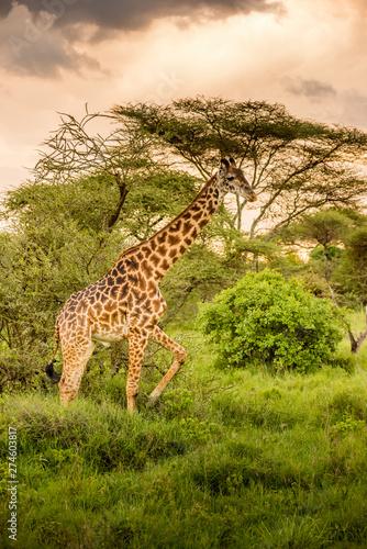 Giraffe in front Amboseli national park Kenya masai mara.