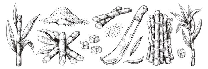 Hand drawn sugar cane. Sketch leaves and canes, natural organic sugar plantation, vintage sugarcane plant. Vector isolated harvest agriculture set