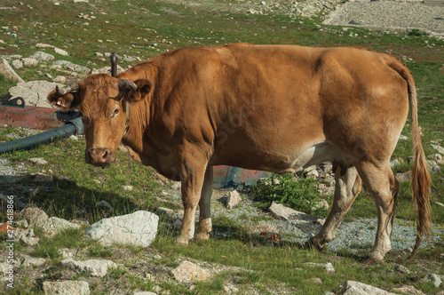 Garden Poster Cow Cow grazing on poor pasture filled with stones