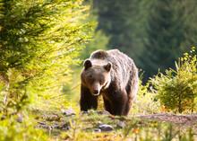 Wild Brown Bear In Mala Fatra Mountains In Slovakia - Ursus Actor