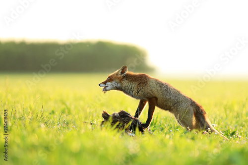 Photo  Red fox vixen ptect prey  on meadow in the morning - Vulpes vulpes