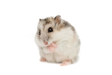 Syrian Hamster On A White Back...