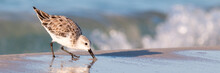 Sanderling Bird At The Shore Of A Beach Panorama.