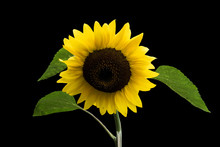 Happy Sunflower Close Up, Isolated. Yellow Petals Almost Ripe. Beautiful Composition In August