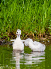 A Group Of Cygnets (baby Swan)...