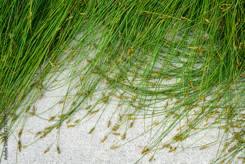 Obraz na plátně Nature background of green sedge grasses in pattern and texture on a cement pati