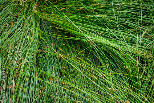 Fototapeta Nature background of green sedge grasses in pattern and texture