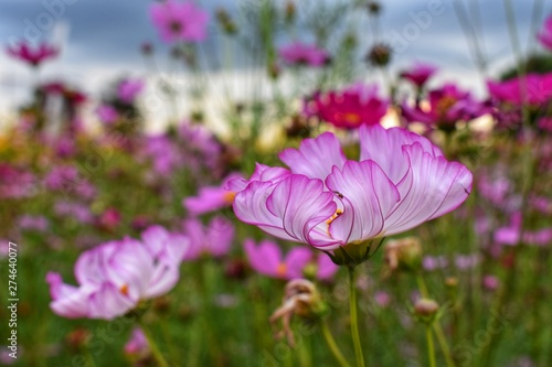Fototapety, obrazy: pink cosmos flowers in the garden