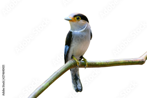 Photo  Closeup bird isolated on white background  Silver-breasted Broadbill